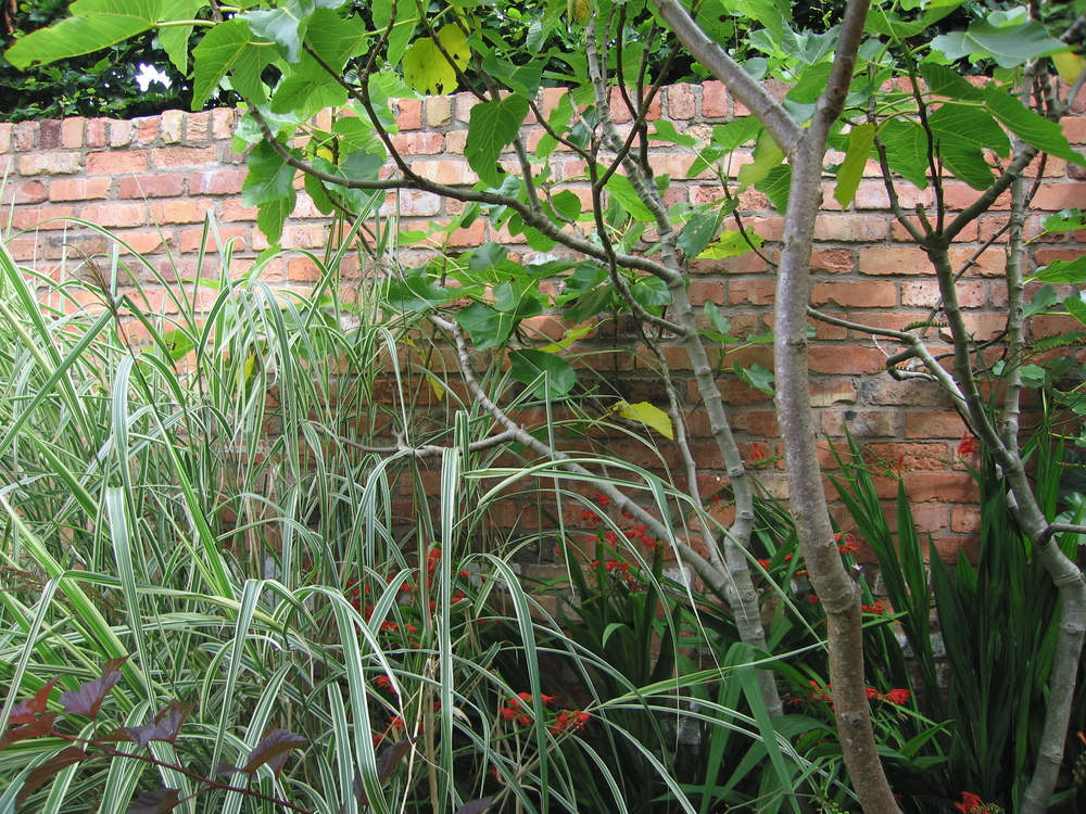fig tree or ficus in irish garden plant society