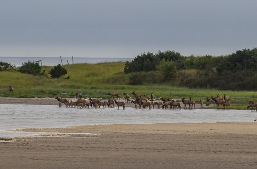 One of our guests captured these elk wandering the estuary at our Ocean Breeze home in Gearhart.