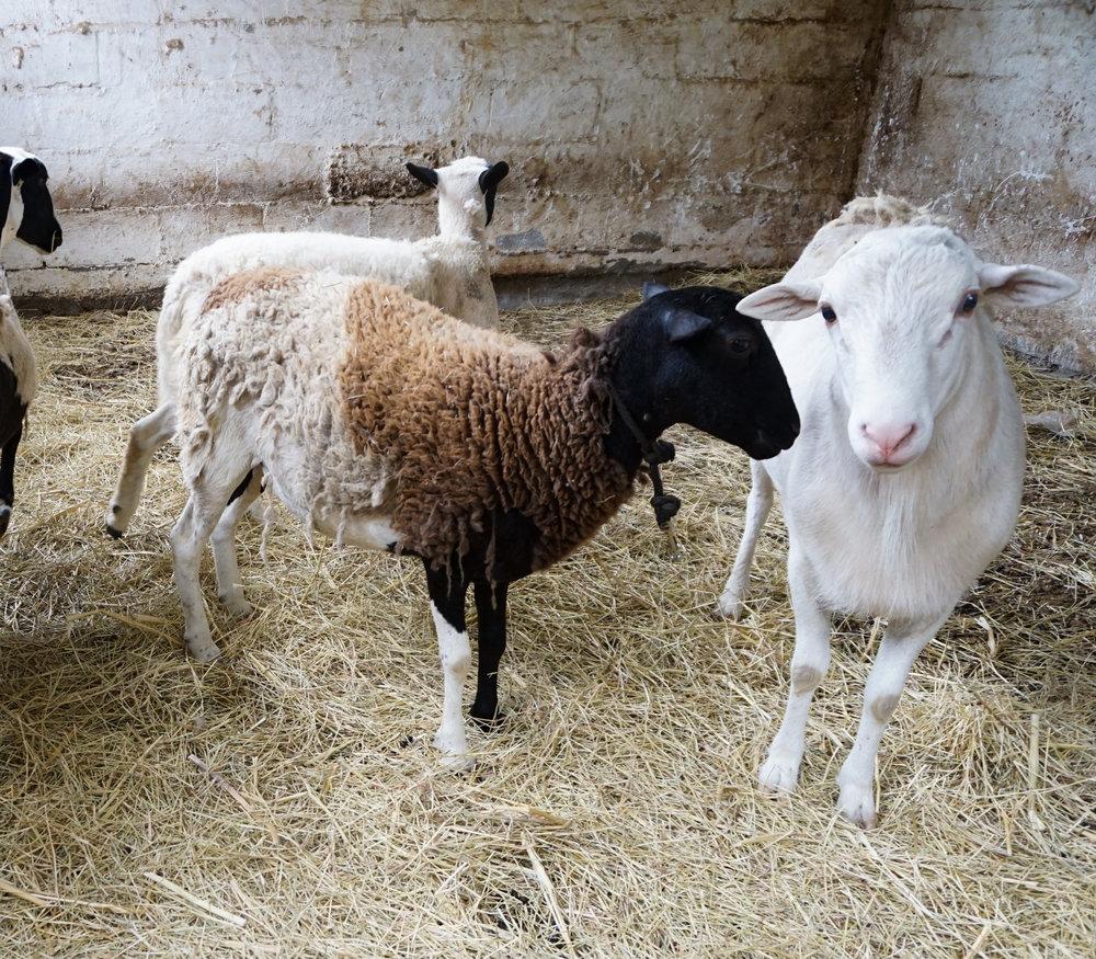 Sheep (1 of 1).jpg
