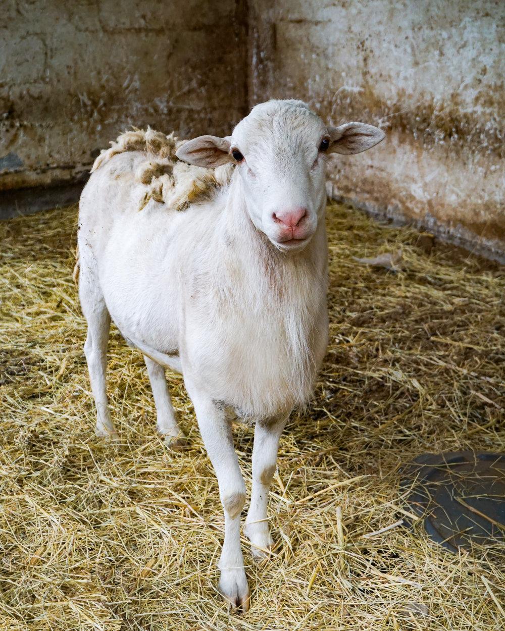 sheep (1 of 1)-2.jpg