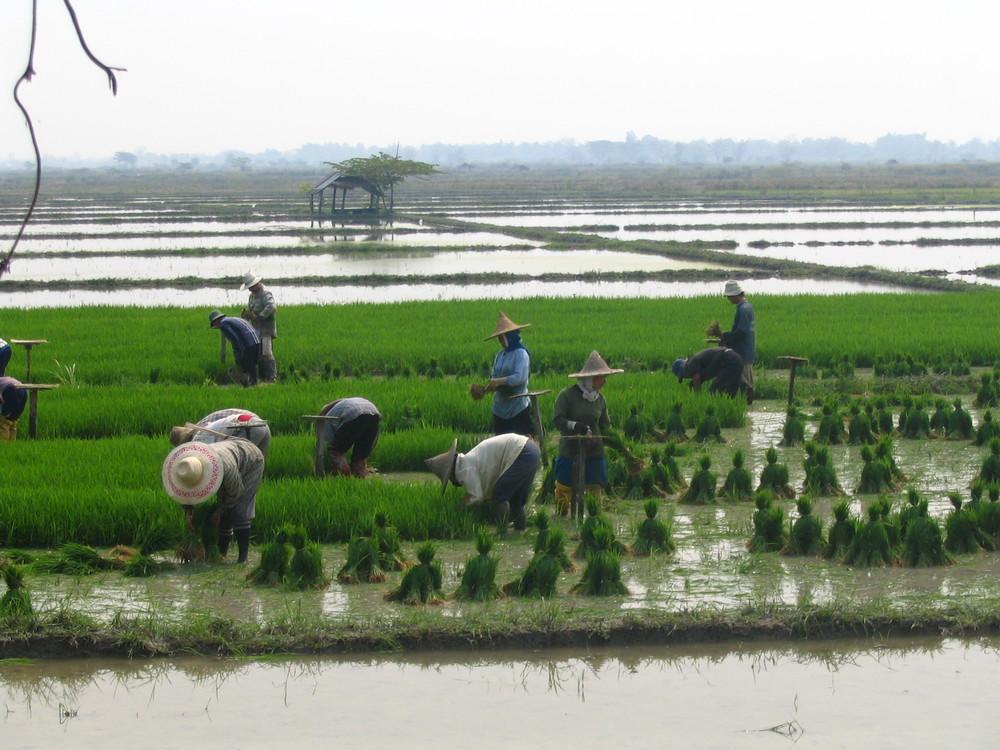 RiceFieldWorkers.jpg