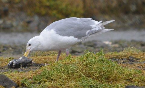 seagull eating fish-mine.JPG
