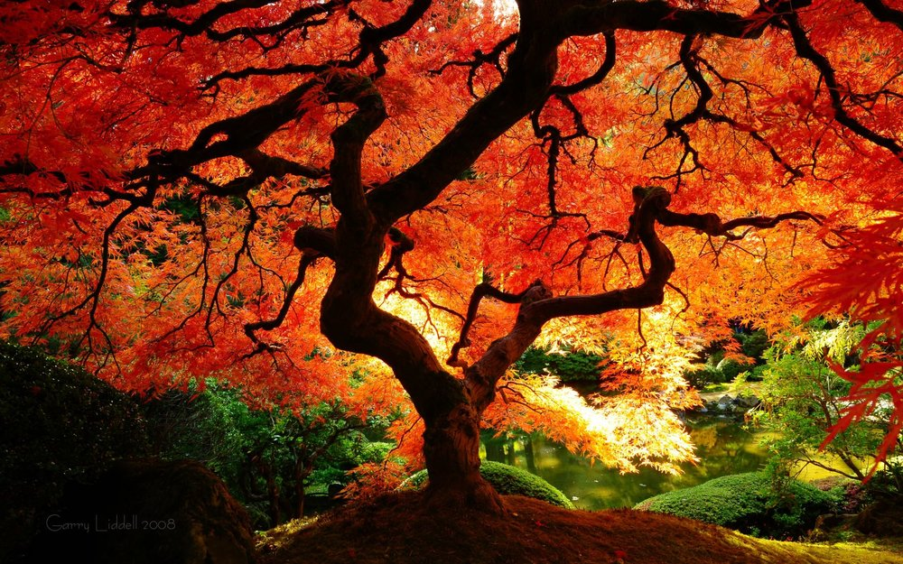 beautiful red tree.jpg
