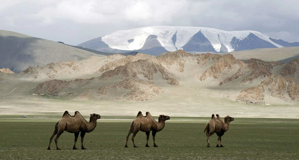 mongolia--camels.jpg