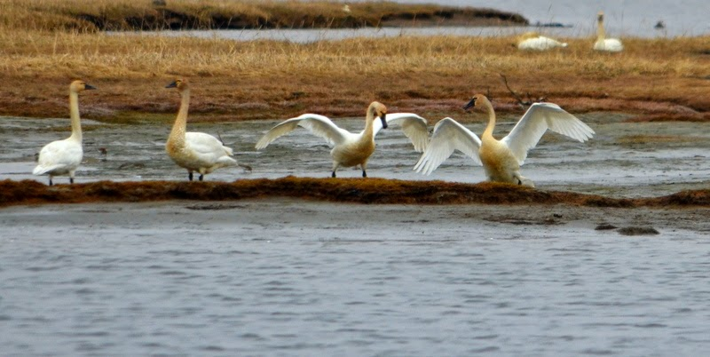 trumpeter swans.jpeg