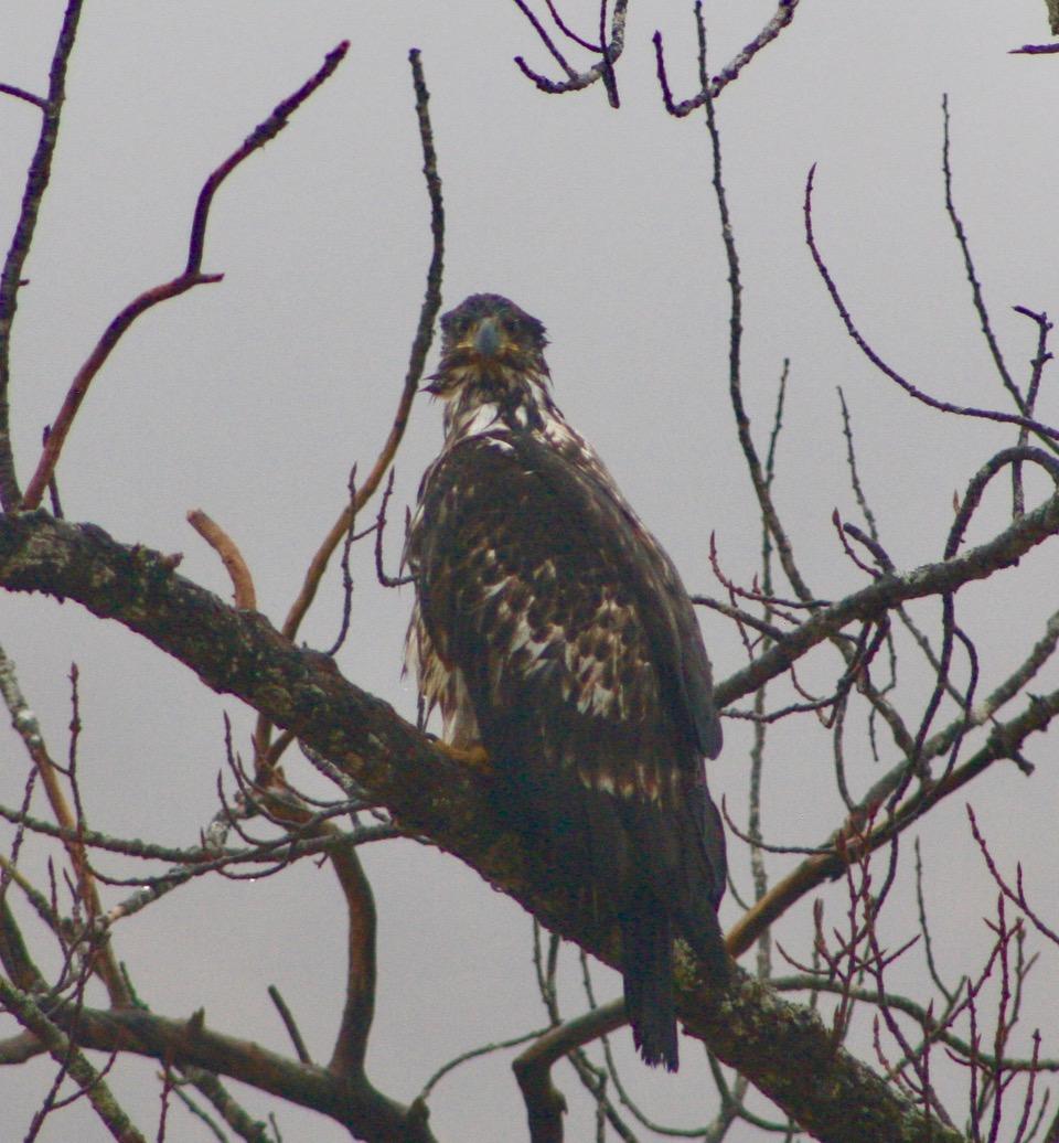 immature bald eagle closeup.jpeg