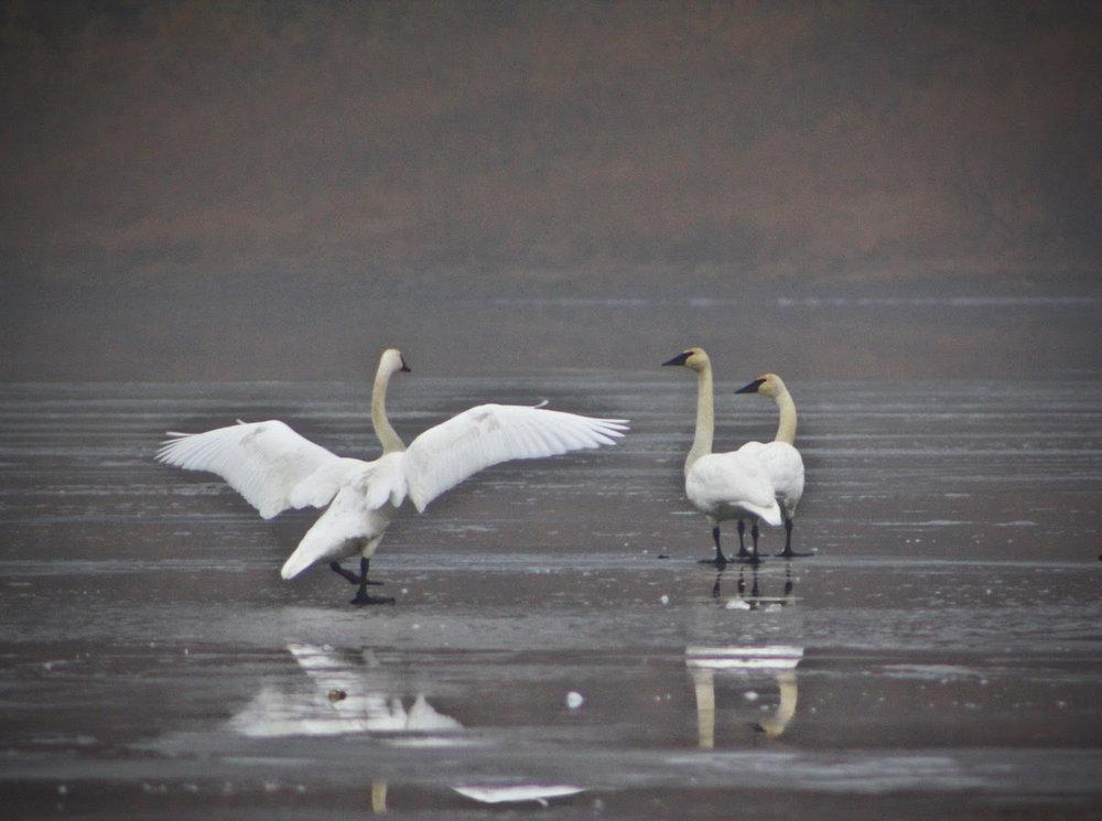 swan with wings open.jpg
