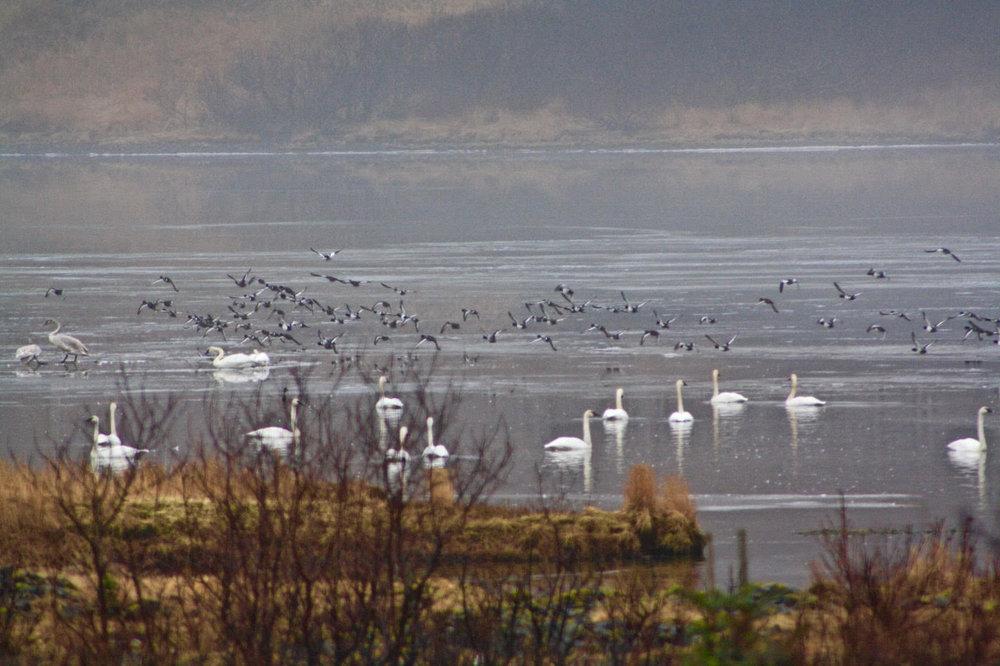 swans and ducks---so many.jpg