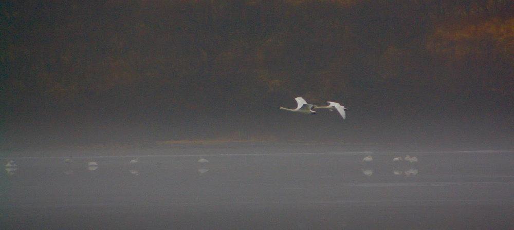 swans flying into fog.jpg