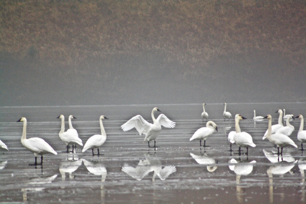 swans--group-1 with wings.jpg