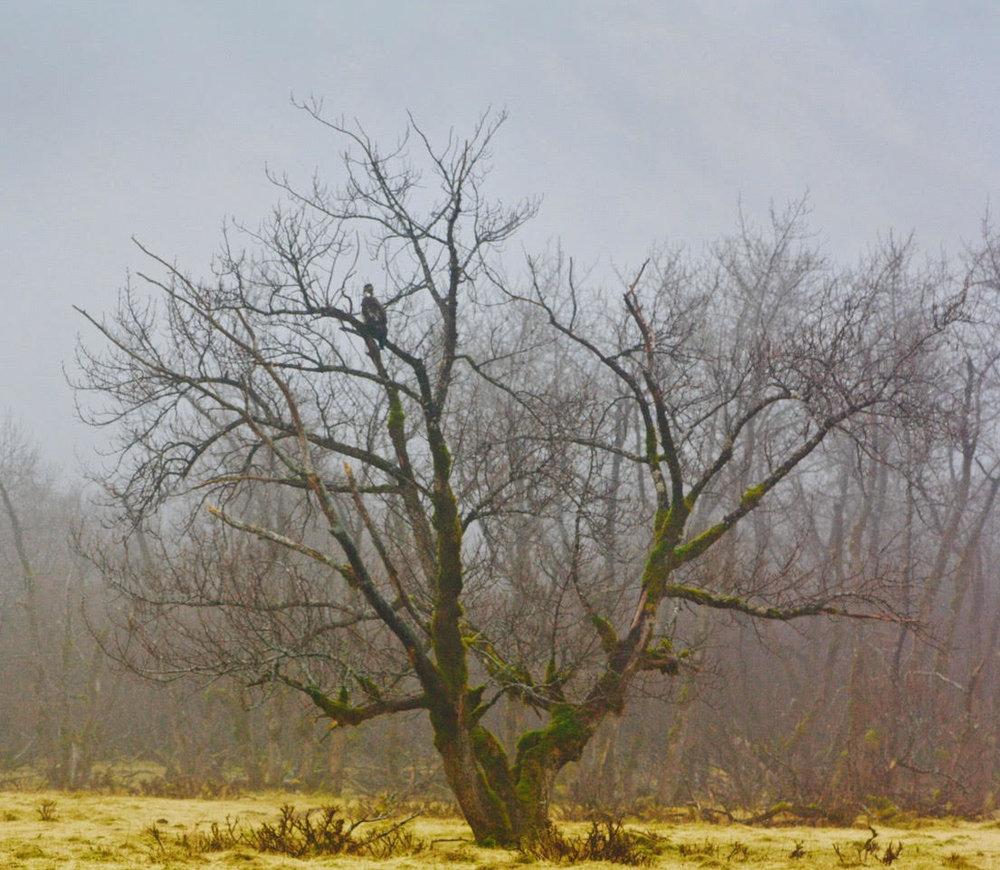 one bald eagle in tree.jpg