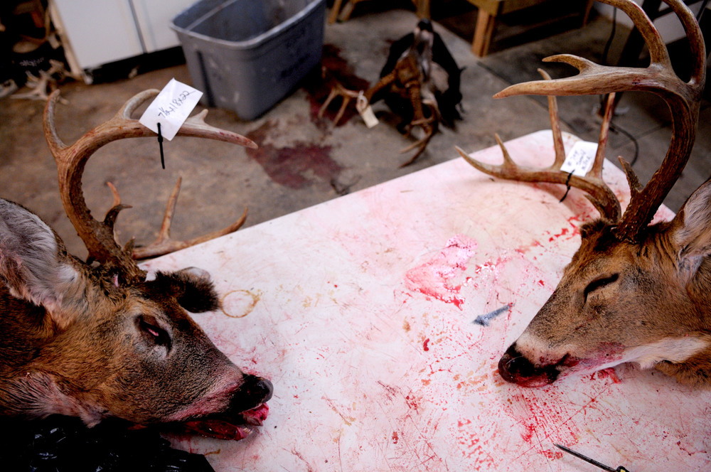 Sever tagged deer heads lay on a table in 'Jims New Life Taxidermy' waiting to be processed. The head will be skinned and the antlers cut off. The leftover meat and bone is often used as coyote bait by local farmers and hunters.