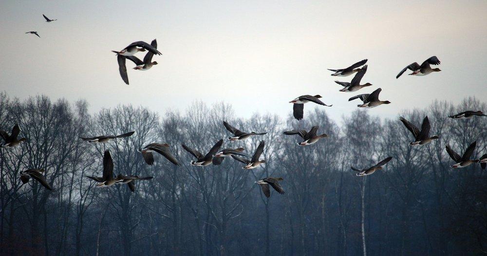 wild-geese-1150000_1920.jpg