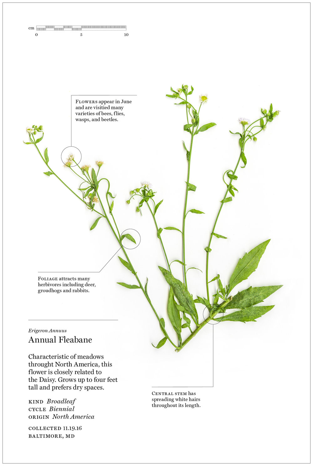 Weed - Identification Sheet14.jpg