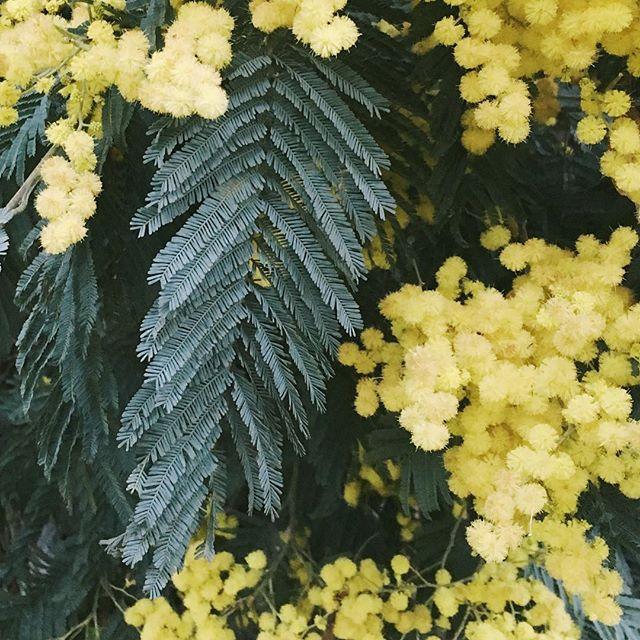 Acacia mearnsii, Black Wattle #yerbabuena #trailtexture #iamsunburnt
