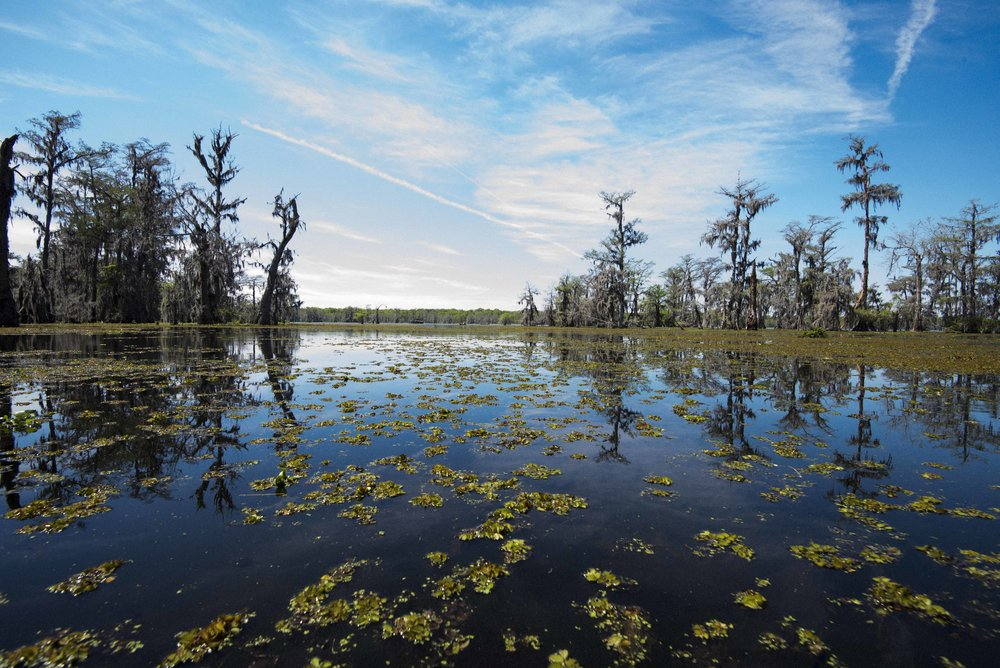 Beautiful Lake Martin, a fresh water lake home to BIG gators, tons of birds, fish, and plants.