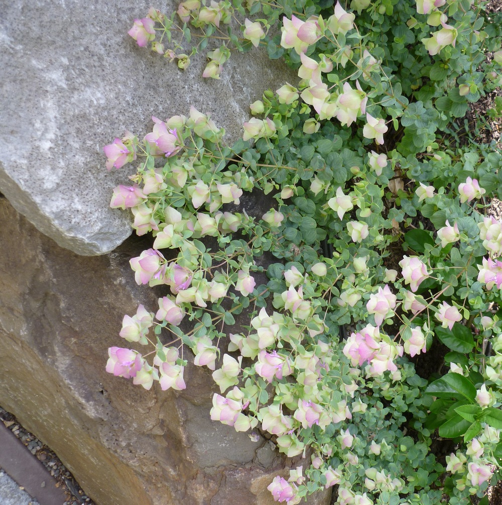 20130622_193-cr1 Oregano Kent Beauty _ Chaenomeles.jpg