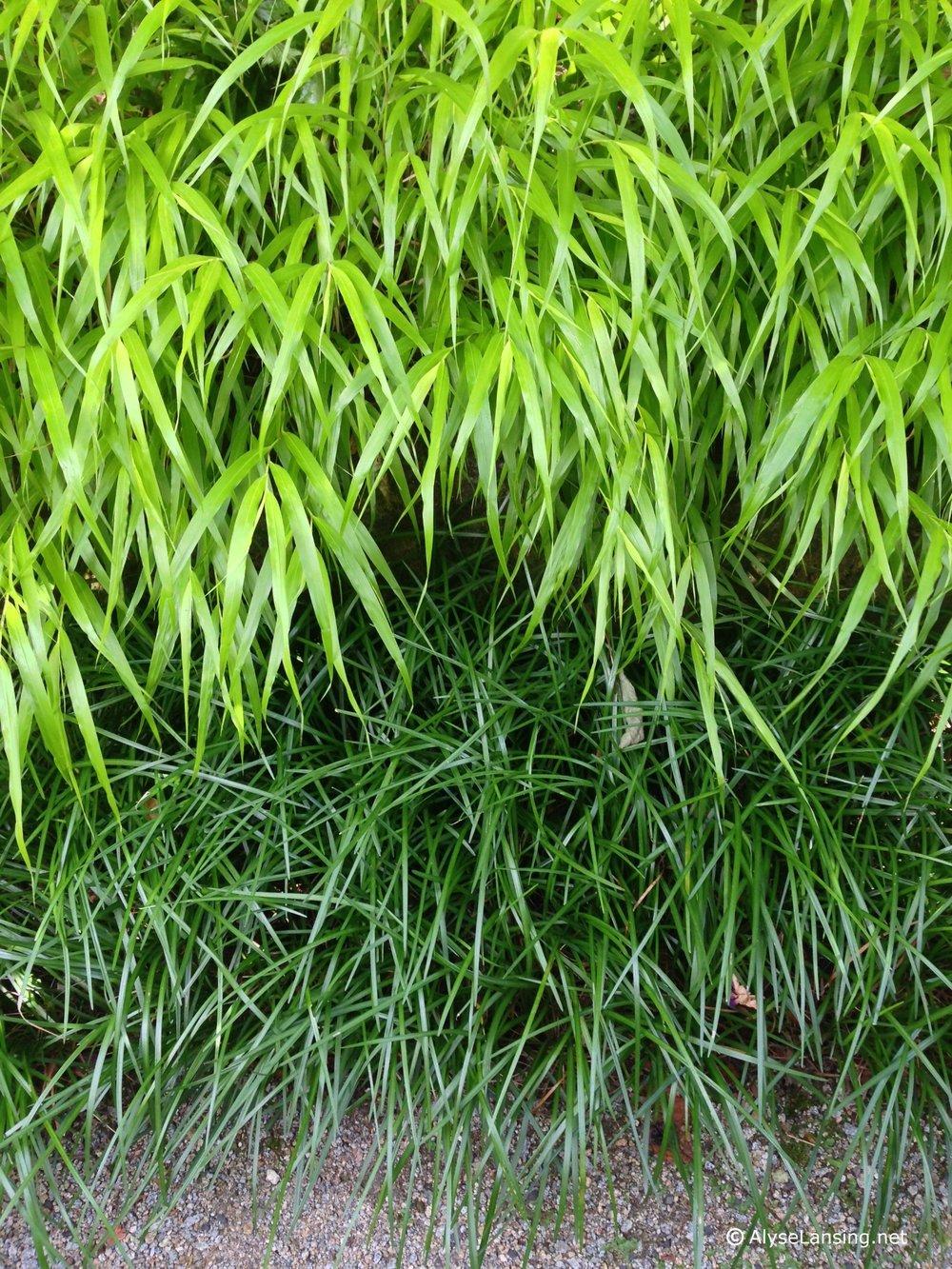 Hakonechloa macra 'All Gold'and Liriope spicata