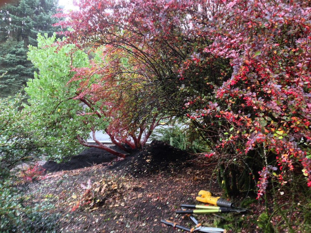 Here shows my continued attempt to improve the looks of the barberry.  Though still a rat's nest of branches, its fall colors accented the Manzanita trunks beginning to be revealed behind it.