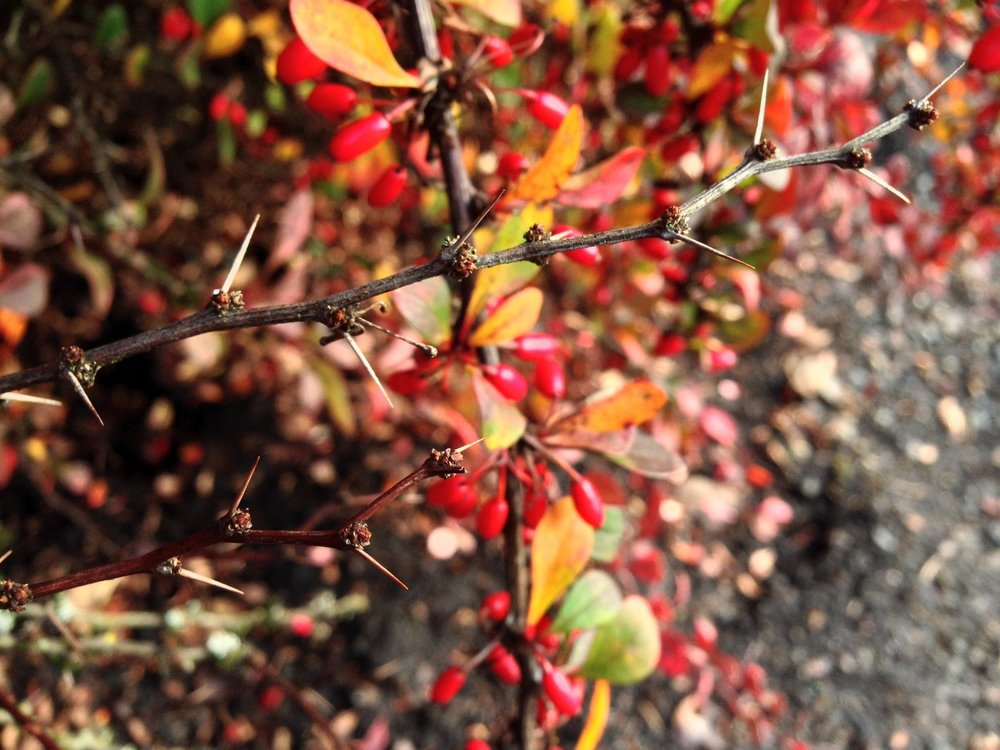 Berberis thunbergii 'Rose Glow' bare limb showing needle-like thorns.  Fall color and berries remain on branches in background.