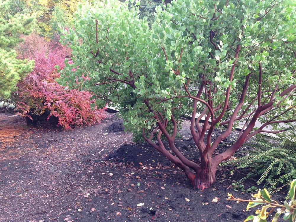 8-year-old Arctostaphylos 'Dr Hurd' and 20-year-old Berberis t. 'Rose Glow' in fall.