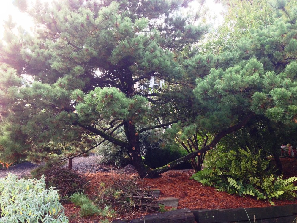 Pinus contorta, Shore Pine, native to the Pacific NW coast.
