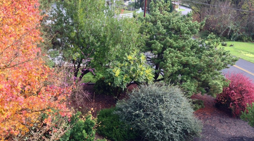 The southeast corner of our yard, from a 2nd story bedroom.  Left to right: orange Japanese Maple fall color; purple berries of Callicarpa (Beautyberry); Pacific Wax Myrtle; Mahonia 'Arthur Menzies'; bluish leaves of Osmanthus delavayii; Pinus contorta (Shore Pine); and red fall color of Berberis thunbergii 'Rose Glow,' the last barberry left in my yard.  My story today begins with the pine.