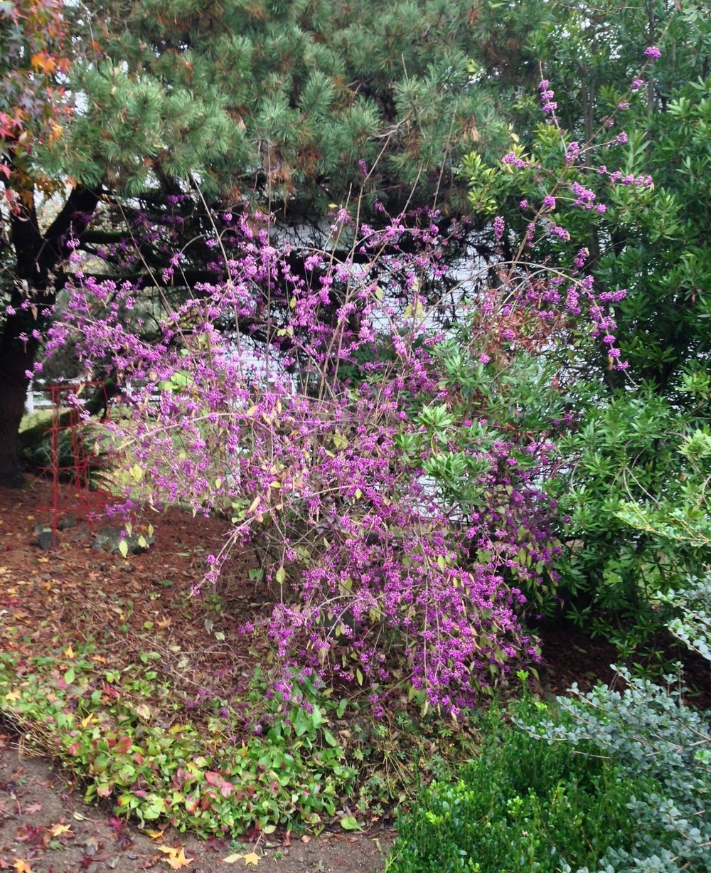 Callicarpa bodinieri 'Profusion' in November, Scappoose OR.
