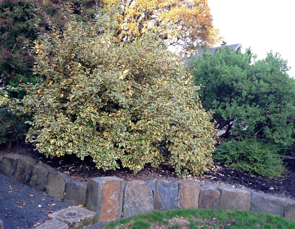 Elaeagnus 'Gilt Edge' after pruning in Fall 2016.