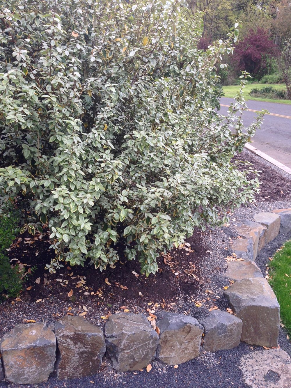 Gilt Edge Silverberry, with silvery-gray new foliage in April.