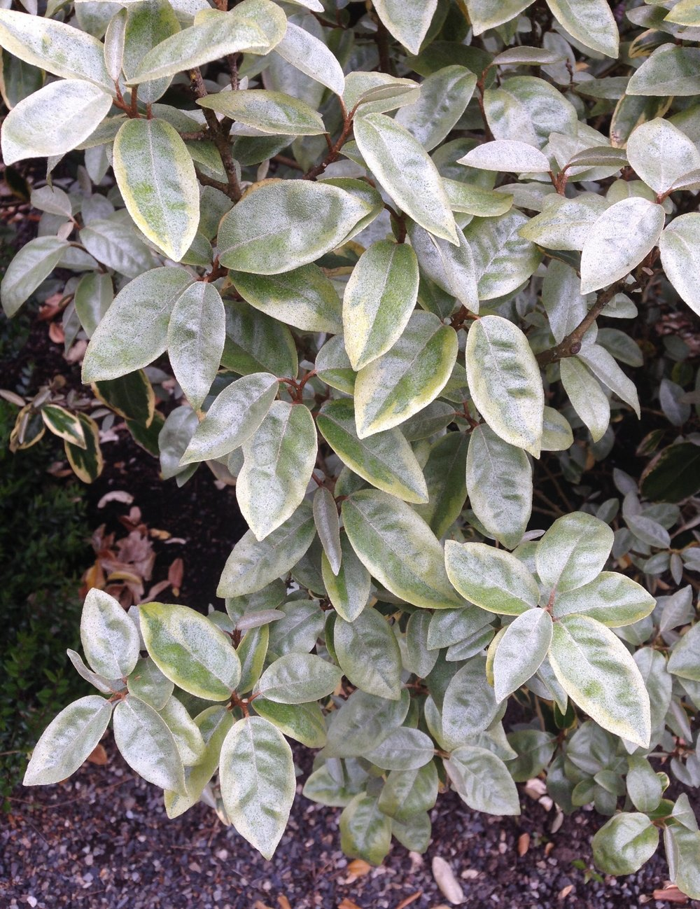 Elaeagnus  'Gilt Edge' in April, with silvery-gray new growth.  NOTE last season's foliage color behind the new leaves.