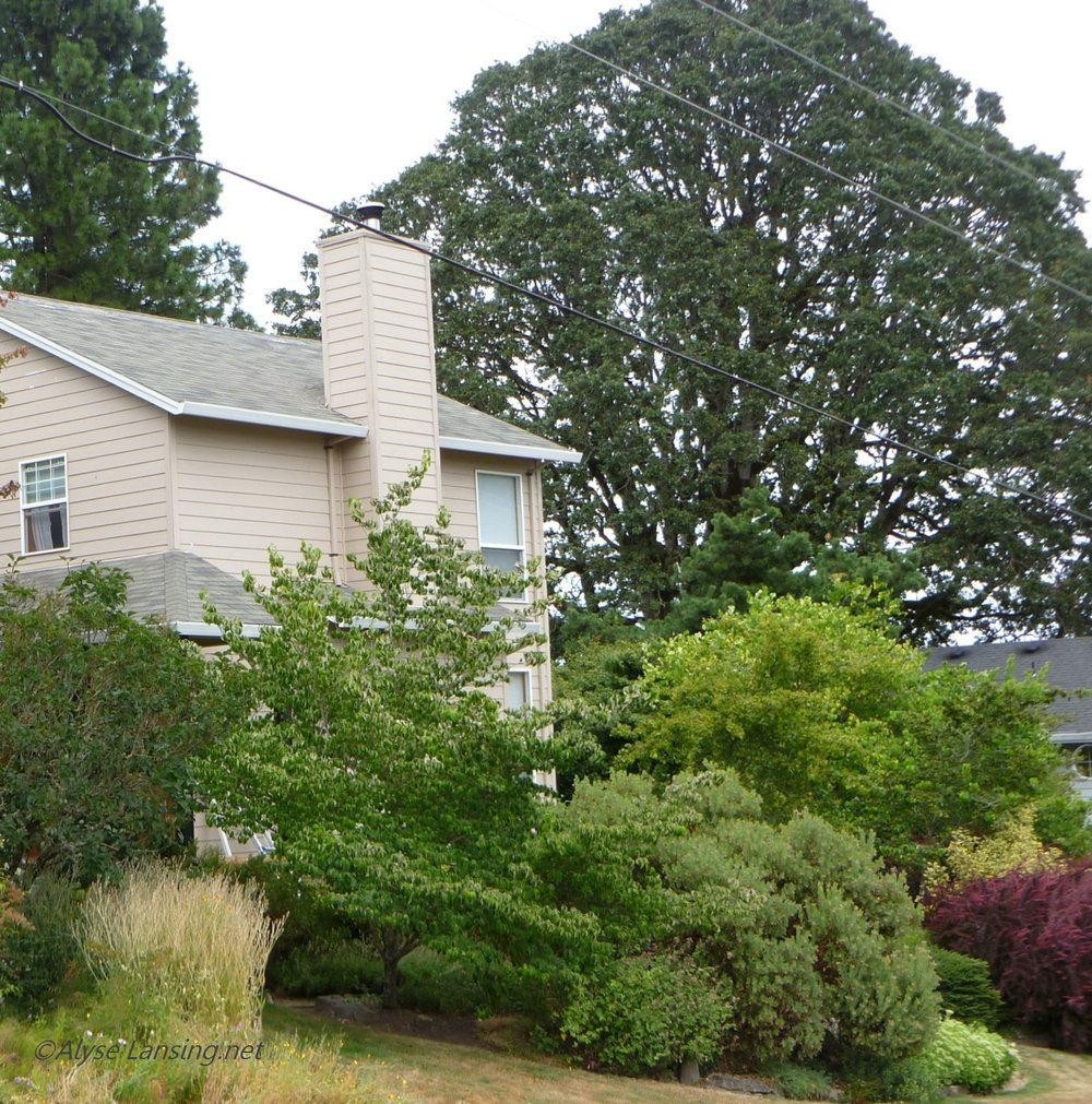 August 10, 2010.  This is the street side of my tan house, and in back is the perfectly-formed, 80-foot+ Garry Oak.