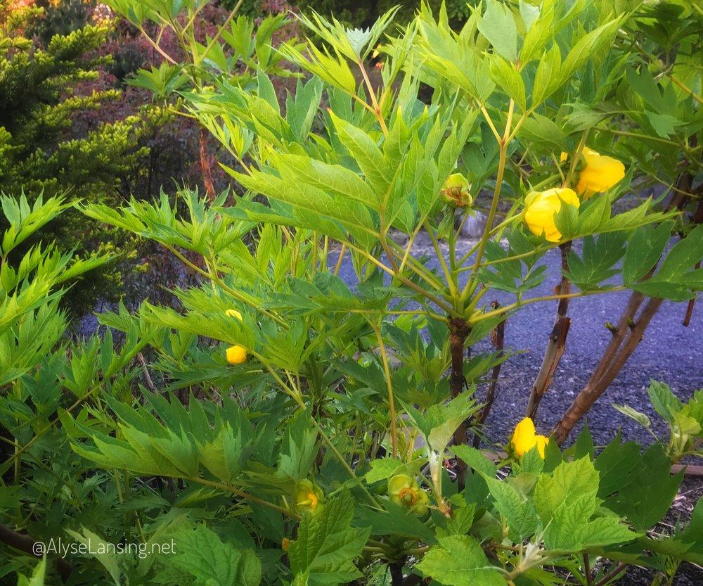 Tibetan Peony (Paeonia lutea ludlowii)