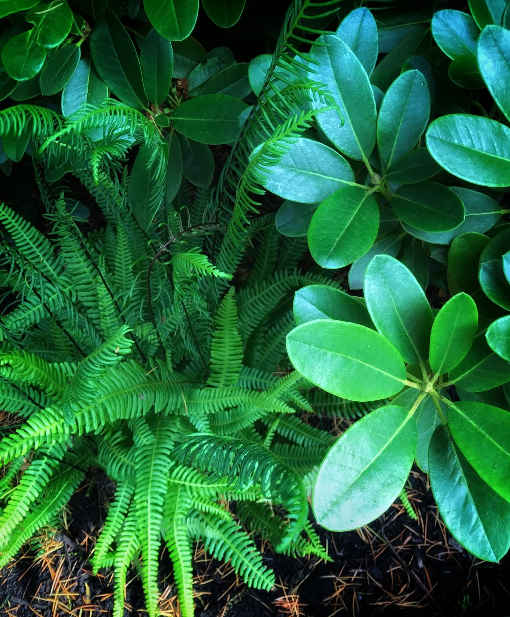 Foliage combo: round-leaved rhody and native deer fern.