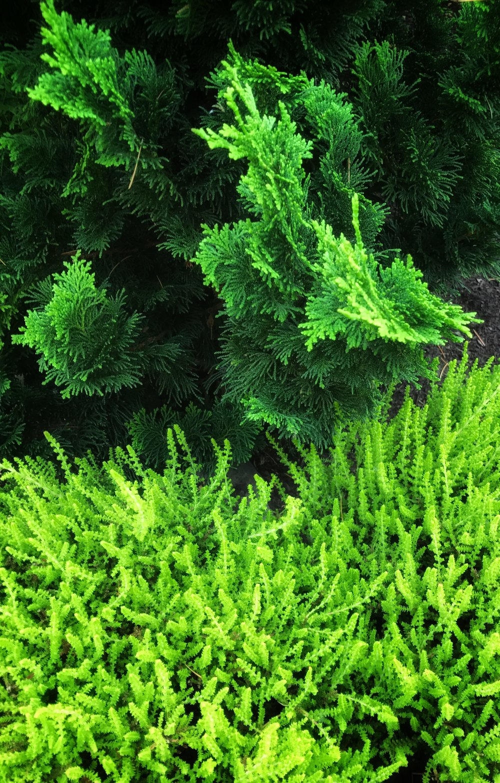 Foliage combo: Chamaecyparis obtusa (Hinoki cypress) cultivar and Calluna (Heather).