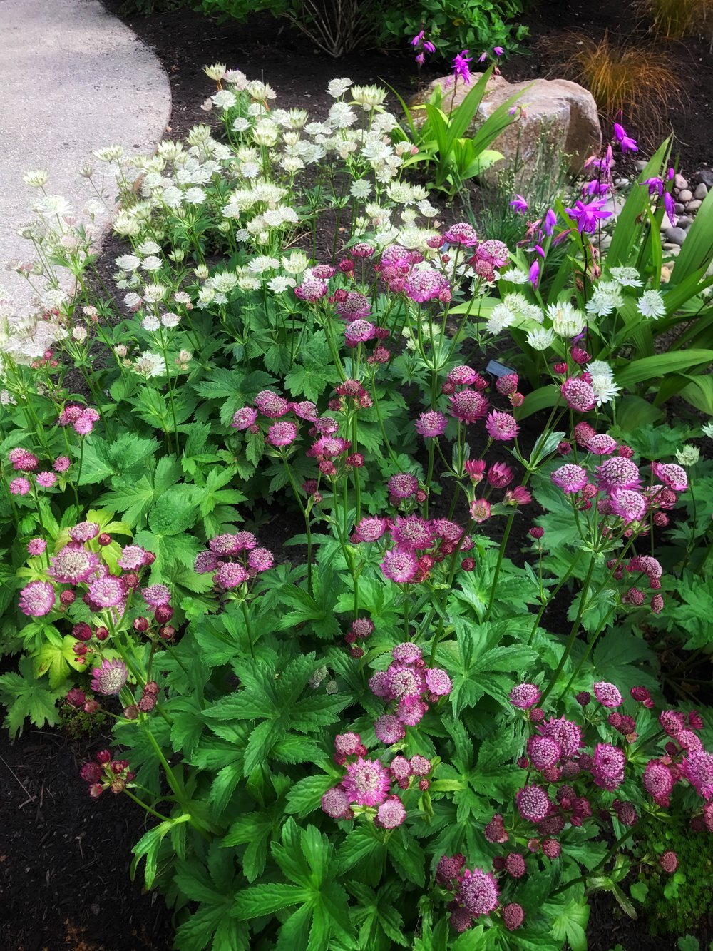 Two colors of Astrantia, looking great together.