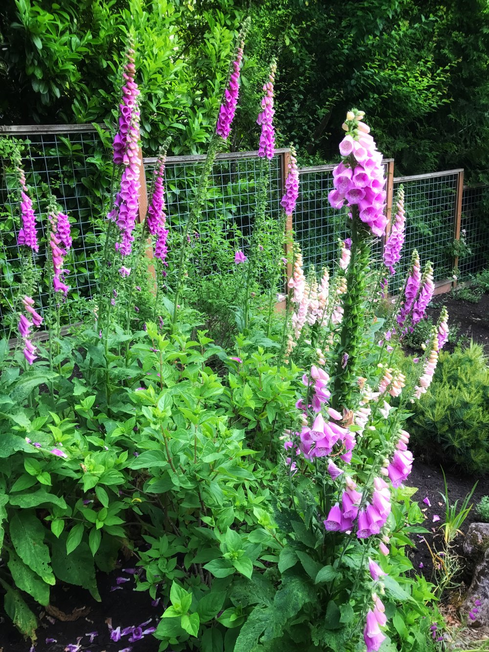 I'm a sucker for a big stand of Digitalis.