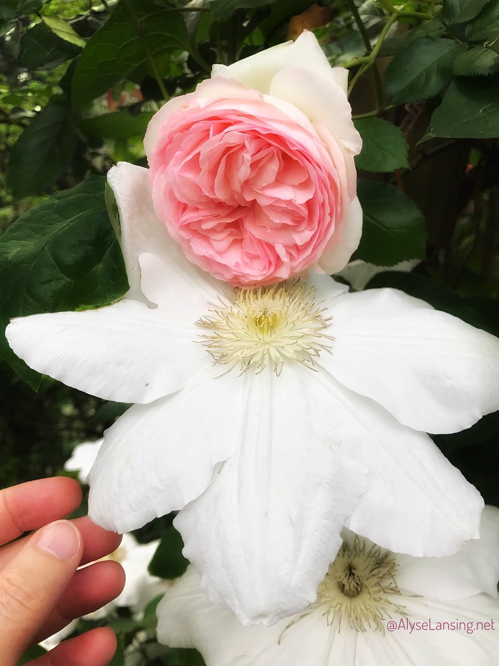 The pure white Clematis 'Candida,' with Rosa 'Eden.'