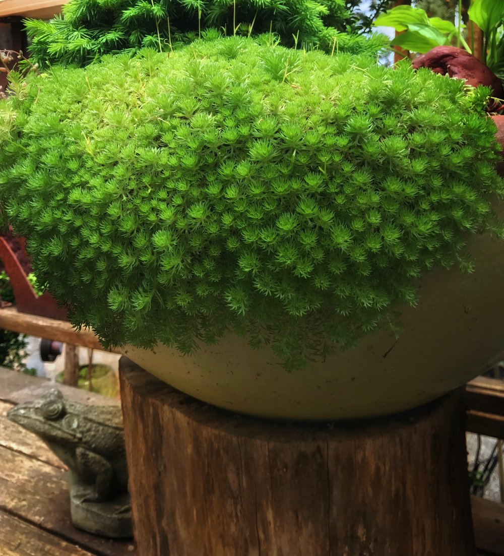 Saxifrage in a bowl on deck, lush and cool. Raised on pedestal like it is, it has the feel of a moss table.