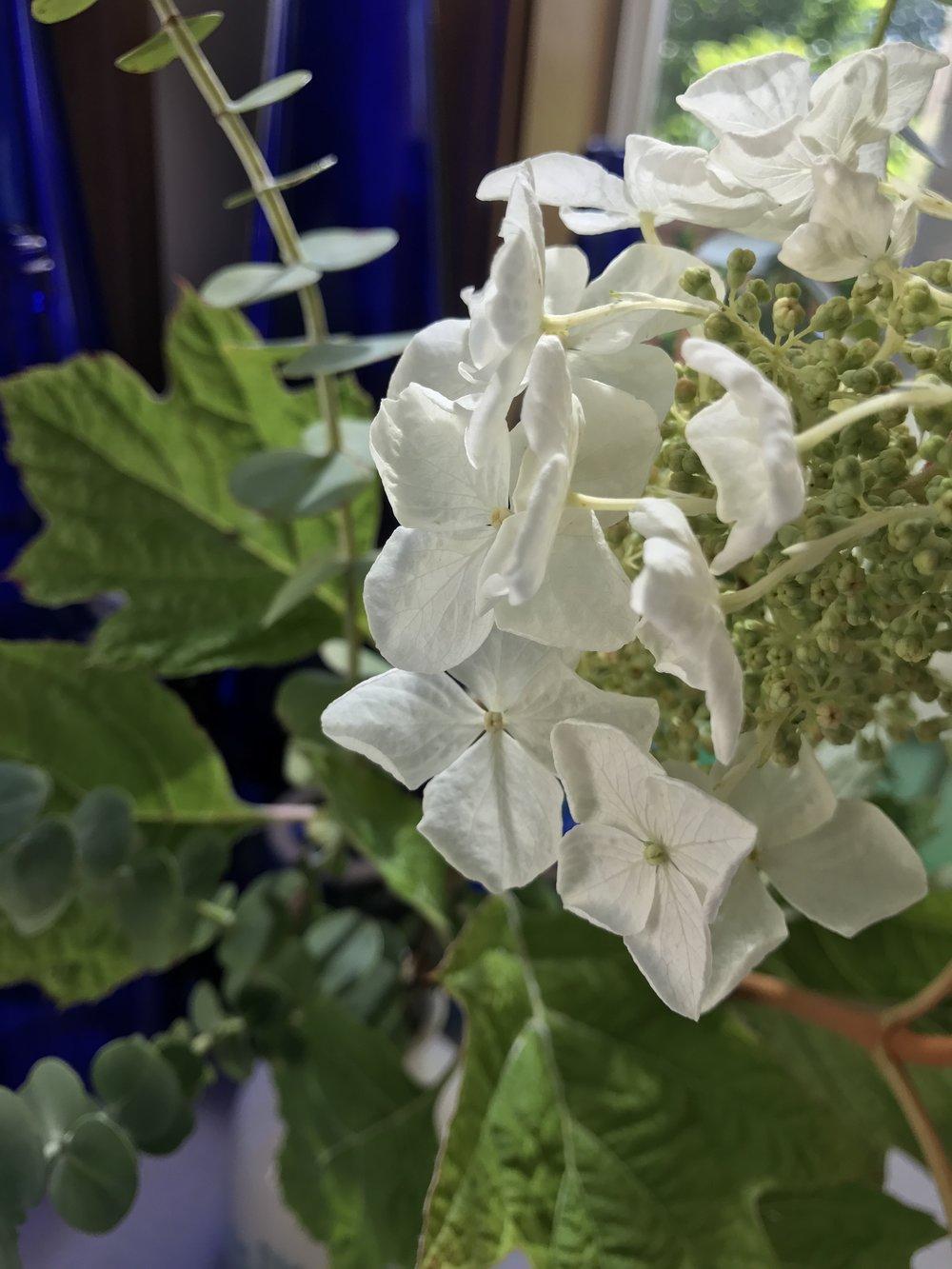 Hydrangea quercifolia 'Sykes Dwarf'