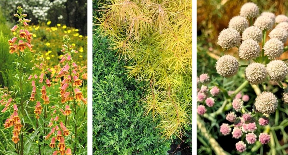 Three plants in the book now high on my wish list:  L to R--  Digitalis obscura; Amsonia hubrectii in fall color; Seseli gummiferum, common name Moon Carrot.  (first photo by Amy Campion, next two by Alyse Lansing.)
