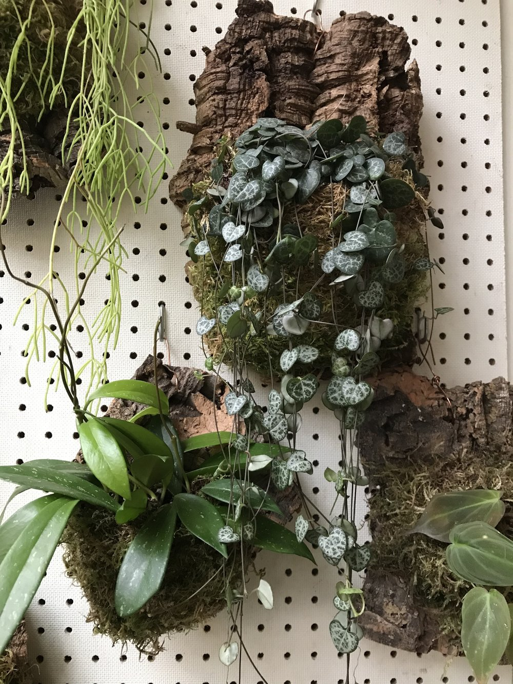 A variegated String of Hearts ( Ceropegia woodii ) cascades from a bark wall mount. Also in the shot is a strongly procumbent Rhipsalis and an orchid (I believe).
