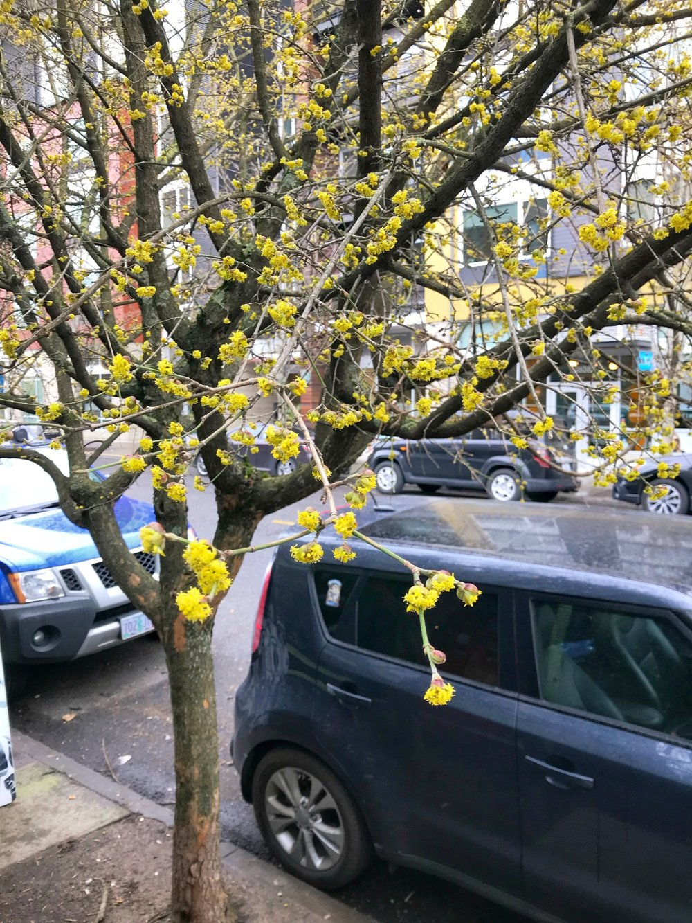 Cornus mas  in full bloom, early Feburary 2018 (a good year).