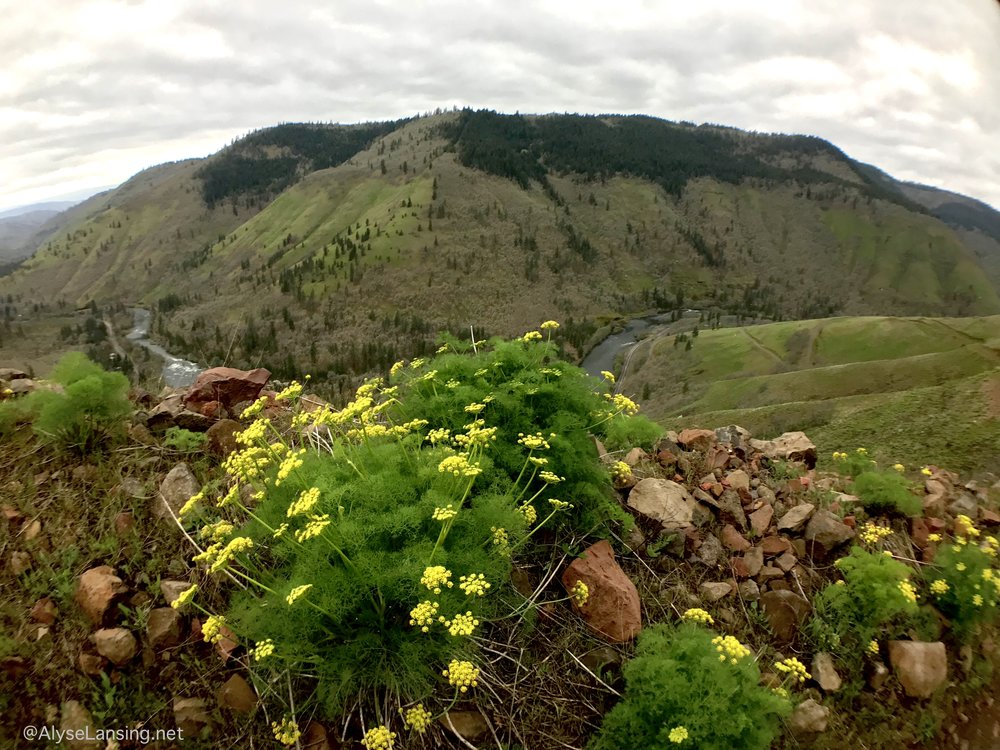 Lomatium grayi  (Gray's Desert Parsley) on road-cut berm above the Klickitat River