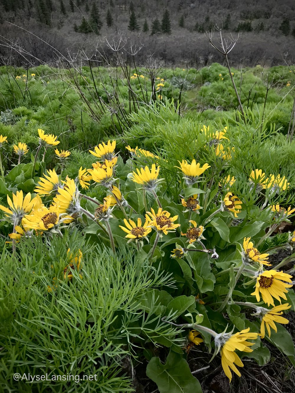 Sunflower blooms of Balsamroot surrounded by as-yet-unblooming Suksdorf's Desert Parsley ( Lomatium suksdorfii ).