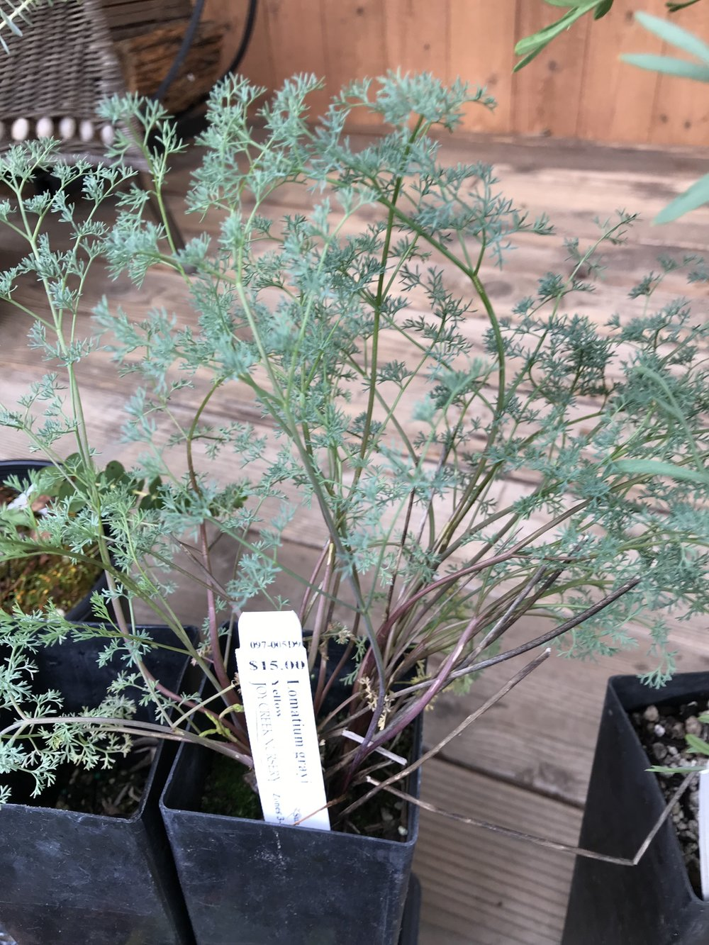 Gray's Lomatium.  Thank you to Joy Creek Nursery and propagator Leslie Gover for  growing this one  to sell. It's wintered over a full year for me, in this pot.