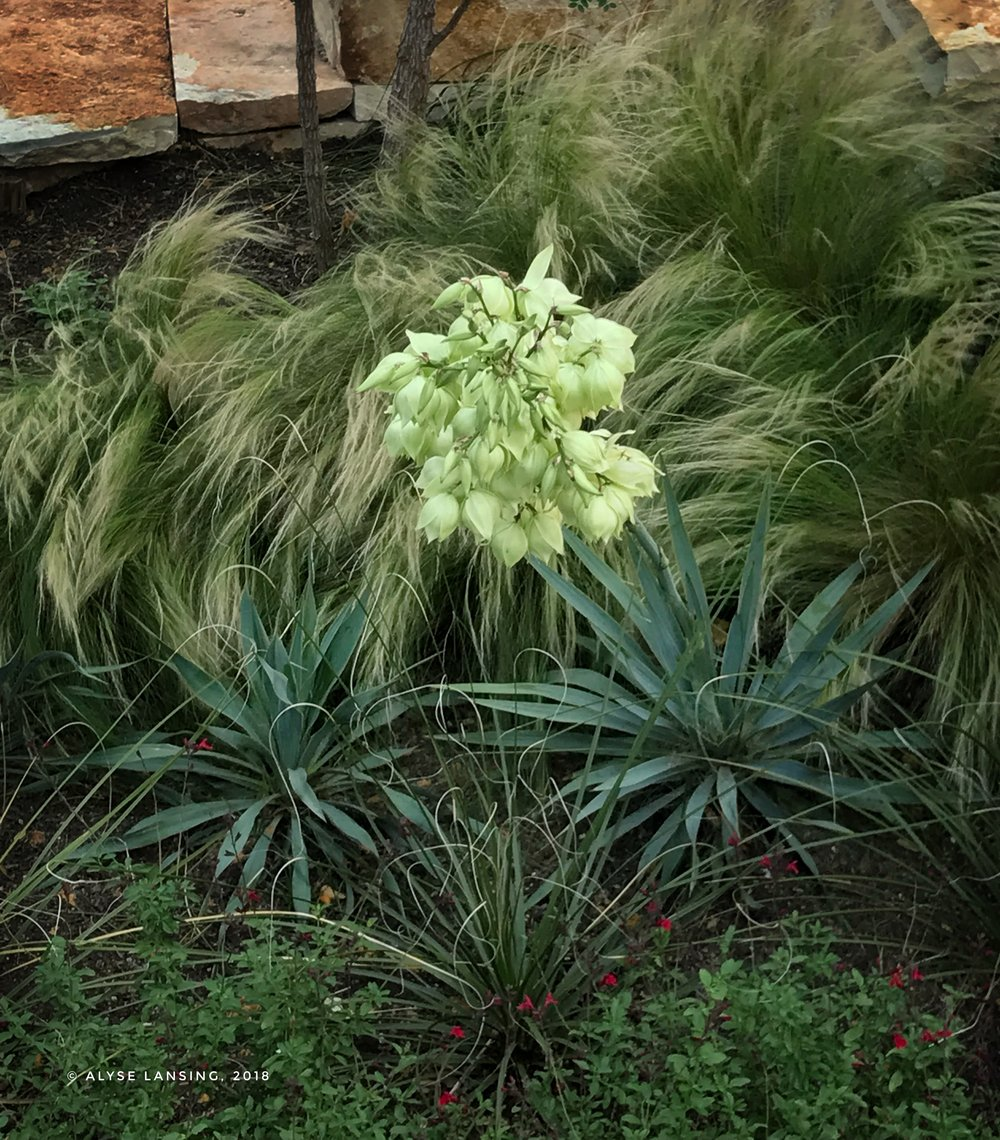 "This blooming yucca shows ""soft and hard together,"" with plants.  Soft Mexican Feather Grass with hard lines of the yucca."