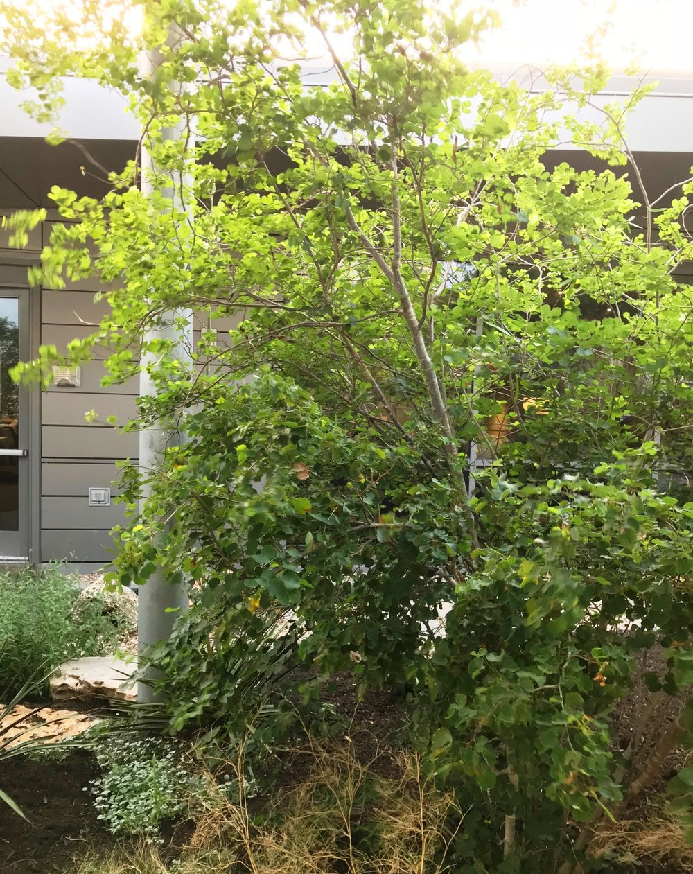 Anacacho orchid tree,  Bauhinia lunarioides --a Texas native.