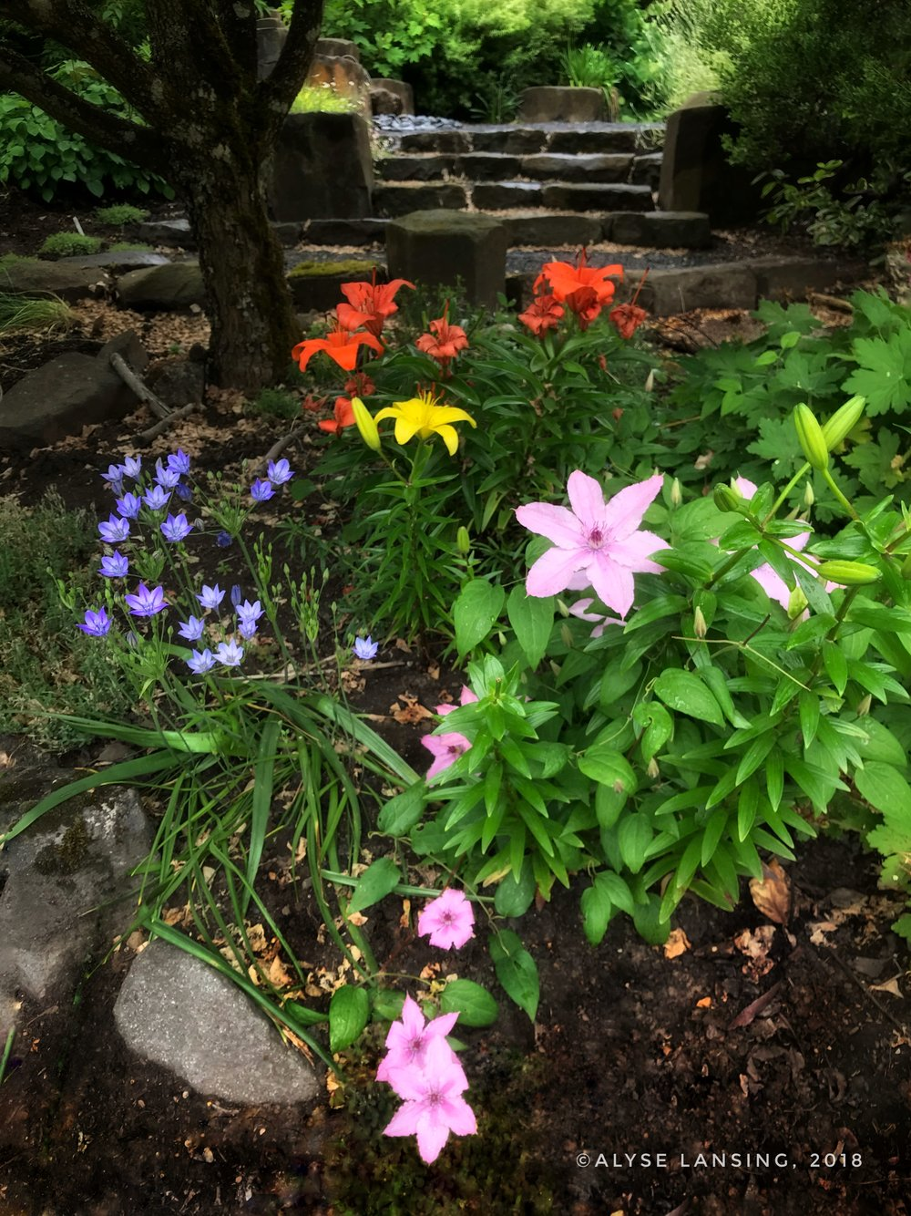 Left to right, Brodiaea 'Queen Fabiola,' orange and yellow Asiatic Lilies, and an old mauve Clematis - our yard, June 13, 2018.