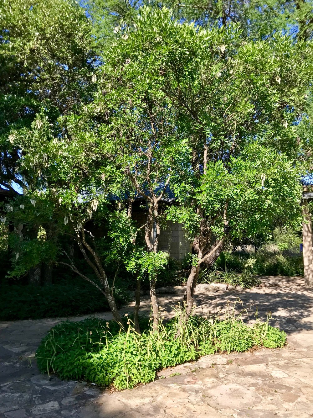 The courtyard's Texas Mountain Laurel, on a sunnier day